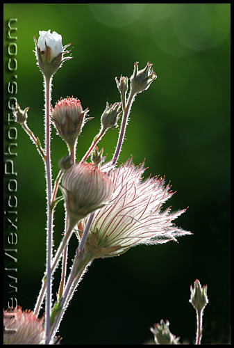 apache plume blossom and fruits