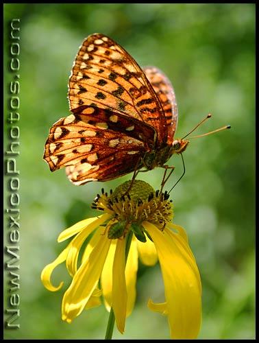 atlantis fritillary butterfly
