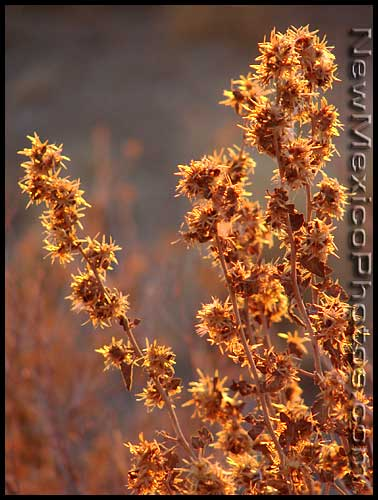 dried wildflowers glow in the late afternoon light of winter