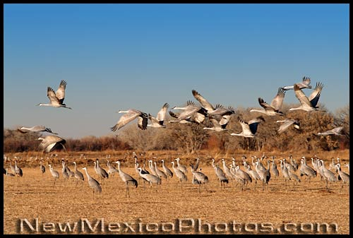 sandhill cranes at the Ladd S. Gordon waterfowl area in Bernardo
