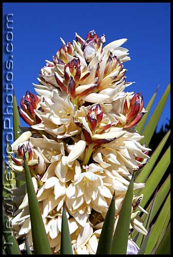soaptree yucca blossoms