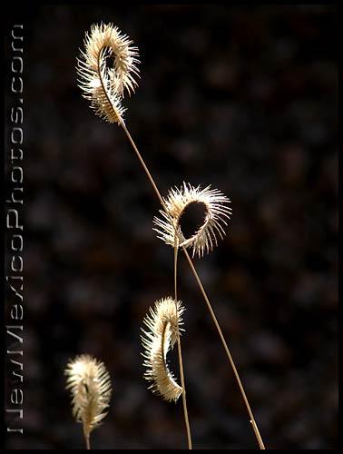 photo of a few stalks of blue grama grass