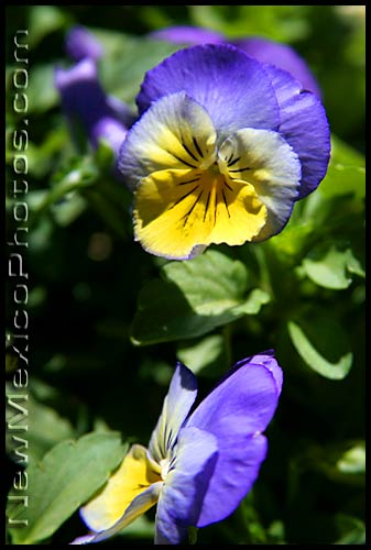 brendas beautiful purple and yellow pansies