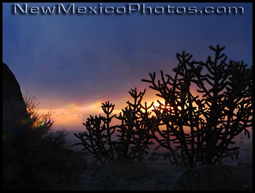 sunset makes silhouettes of cholla