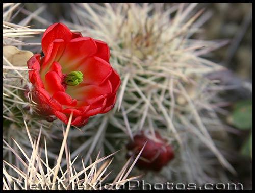 a claret cup cactus blossom