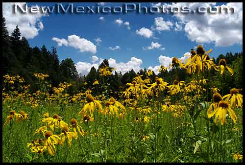 field of yellow coneflowers