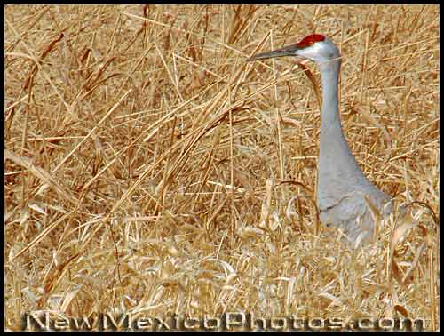 a sandhill crane walks in tall grass
