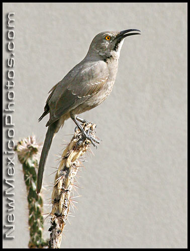 photo of curve billed thrasher sitting on a cholla branch