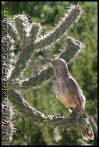 curve-billed thrasher on cholla