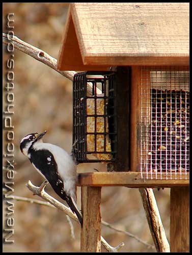 a downy woodpecker at the Rio Grande Nature Center