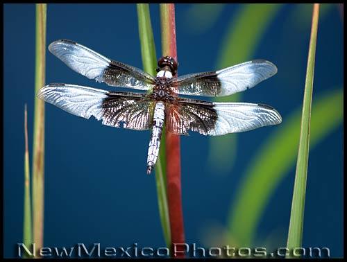 dragonfly at Rio Grande Botanic Garden