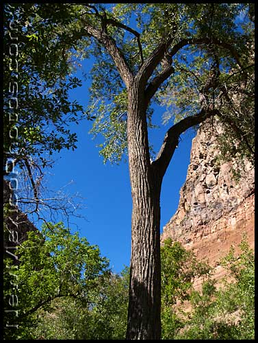 tree in frijoles canyon
