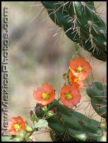 globemallow threads itself around a cholla cactus