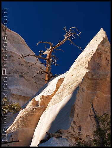 old gnarled tree at tent rocks