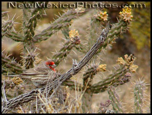 house finch on a dried branch of cane cholla