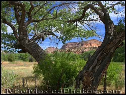 red rock mesas in the jemez, framed by cottonwood trees