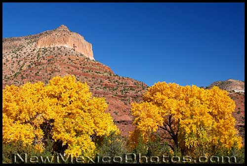 photos of brilliant yellow trees against a backdrop of Jemez red rocks