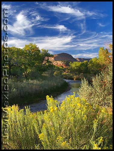 chamisa blooms along the west fork of the Jemez River