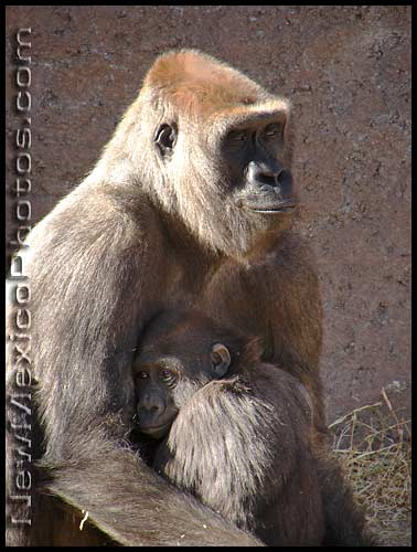 a baby gorilla at the rio grande zoo hides in its mother's arms