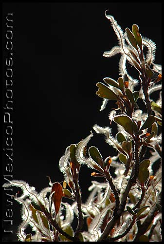 backlit mountain mahogany seeds