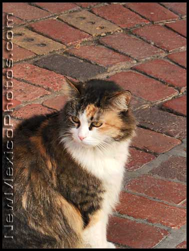 a calico cat keeps an eye on her sidewalk in Old Town