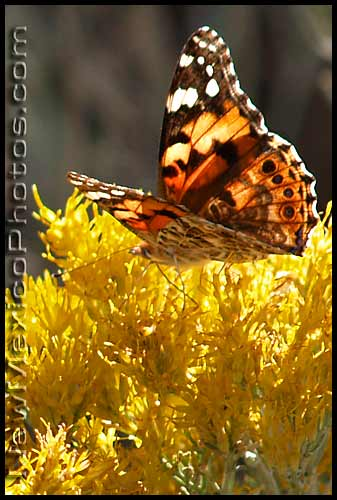 a painted lady butterfly sips her breakfast from chamisa blossoms