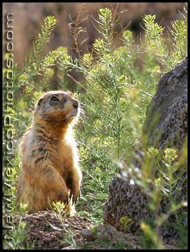 photo of a prairie dog
