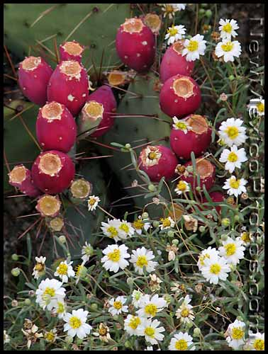 prickly pear fruits and blackfoot daisies