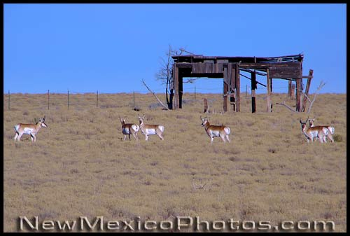 a herd of pronghorns on the mesa west of Albuquerque