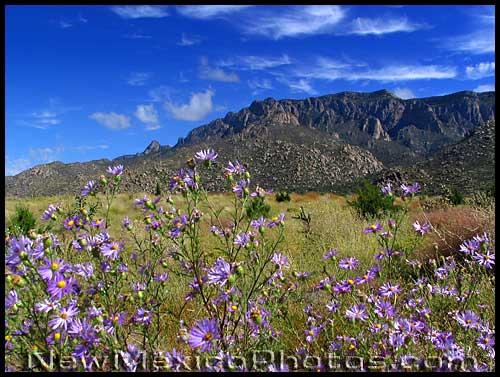 purple asters at Elena Gallegos Picnic Area