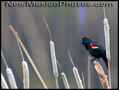 a male red-winged blackbird sings his song