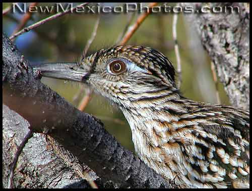 roadrunner in a tree, up close and personal