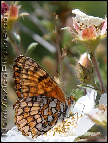 sagebrush checkerspot butterfly on apache plume
