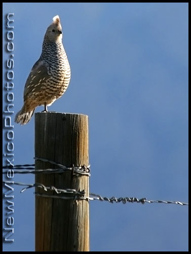 a scaled quail perches on a fence post