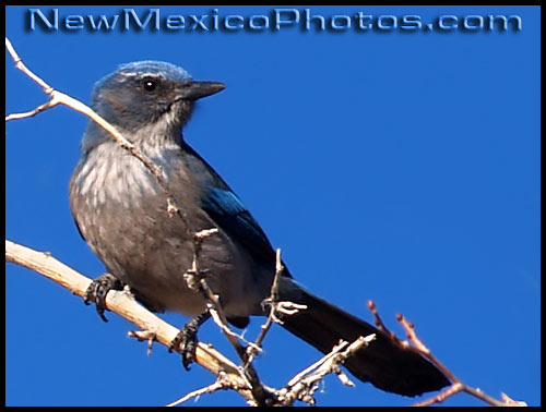 western scrub jay