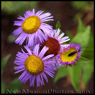 showy daisies
