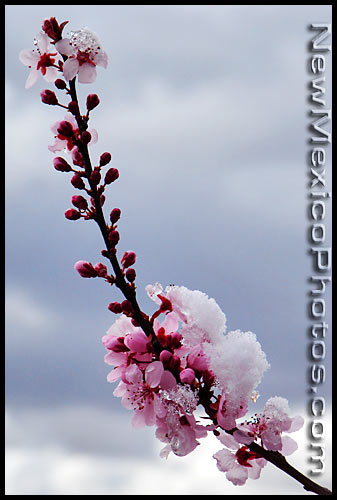 snow on pink tree blossoms