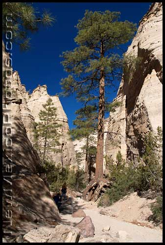 a very tall ponderosa at Tent Rocks