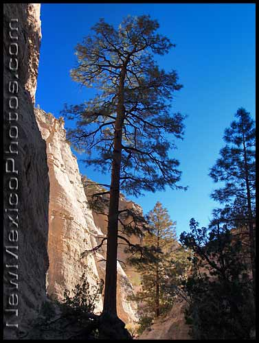 photo of a large ponderosa at the mouth of the slot canyon at tent rocks