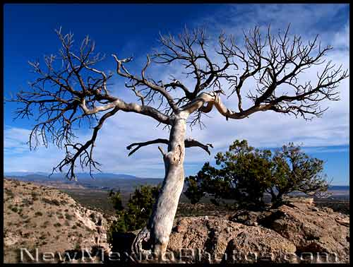 gnarled tree high above tent rocks