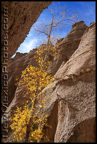 a small tree with yellow leaves seeks light from within the slot canyon at tent rocks