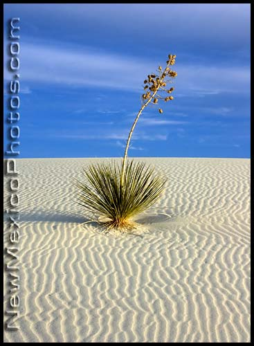 yucca at white sands national monument