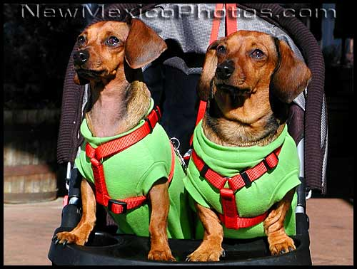 photo of dachshunds dressed in red and green outfits