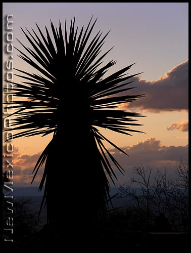 yucca silhouette at sunset