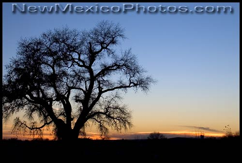 A cottonwood tree in the Rio Grande bosque is silhouetted by the setting sun