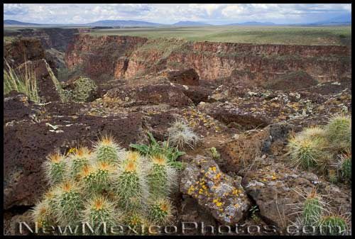 cactuses overlooking the rio grande gorge, west of Taos