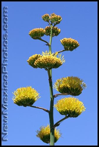century plant blossoms