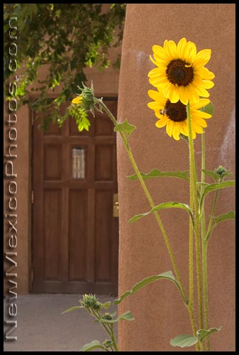 sunflowers at the santuario