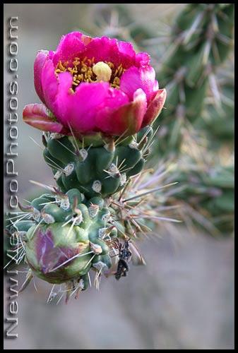 cane cholla cactus blossom