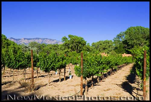rows of grapevines in a Corrales vineyard